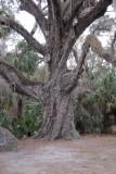 2000 year old Oak tree