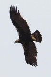 Spanish imperial eagle, Iberian imperial eagle (aquila adalberti), Monfragüe, Spain, June 2013