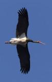 Black stork (ciconia nigra), Monfragüe, Spain, June 2013