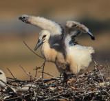 White stork (ciconia ciconia), Trujillo, Spain, June 2013