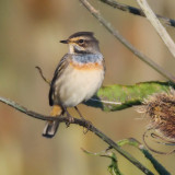Bluethroat (luscinia svecica), Grancy, Switzerland, August 2013