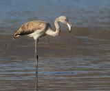 Greater flamingo (phoenicopterus roseus), Skala Kallonis, Greece, September 2013