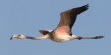 Greater flamingo (phoenicopterus roseus), Kalloni Saltpans, Greece, September 2013