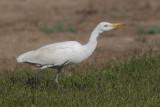 Cattle egret (bubulcus ibis), Dehesa de Abajo, Spain, August 2012