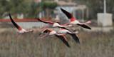 Greater flamingo (phoenicopterus roseus), Santa Pola, Spain, October 2013