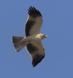 Booted eagle (hieraaetus pennatus), Elche, Spain, October 2013