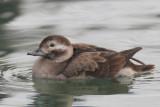 Long-tailed duck (clangula hyemalis), Saint-Sulpice, Switzerland, December 2013