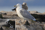 Caspian gull (larus cachinnans), Ouchy, Switzerland, January 2014
