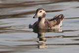 Long-tailed duck (clangula hyemalis), Saint-Sulpice, Switzerland, January 2014
