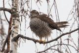 Sparrowhawk (accipiter nisus), Echandens, Switzerland, February 2014