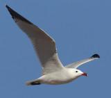Audouin's gull (larus audouinii), Santa Pola, Spain, March 2014