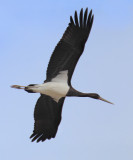 Black stork (ciconia nigra), Cuarnens, Switzerland, August 2014