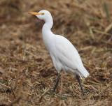 Cattle egret (bubulcus ibis), Elche, Spain, November 2014