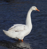 Mute swan x (domestic) greylag goose (Swoose, Schwans, cygnus olor x anser anser), Morges, Switzerland, December 2014