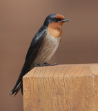 Swallows and swifts