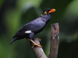 Common hill myna (gracula religiosa), Langkawi, Malaysia, January 2015