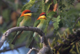 Chestnut-headed bee-eater (merops leschenaulti), Langkawi, Malaysia, January 2015