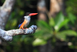 black-capped kingfisher (halcyon pileata), Langkawi, Malaysia, January 2015