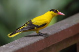 Black-naped oriole (oriolus chinensis maculatus), Singapore, Singapore, January 2015