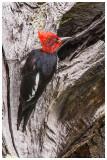 18_Magellanic Woodpecker copy.jpg