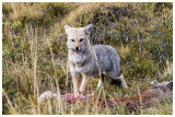 17_Gray Fox.jpg