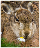 15_European Hare.jpg