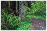 Redwood National Forrest