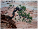 Dwarf Ponderosa Pine.jpg