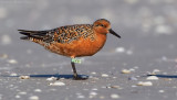 Red Knot (VYY)
