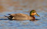 Mallard x Gadwall HYBRID (Brewer's Duck)
