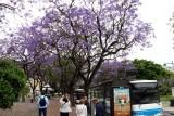 Jacaranda in Bloom