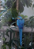 BLUE AND YELLOW MACAW IN CRUISE SHIP PARKING LOT