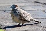 Zebra Dove - Blowing in the Wind (07/28/2015)
