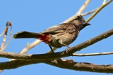 Red-Vented Bulbul using D3100 (08/02/2015)