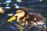 Baby Ducky - Full Image (06/18/2015)