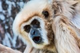 Honolulu Zoo - White-handed Gibbon (close-up) (taken on 07/20/2016)