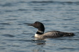 LOONS ....WHITE LAKE GALLERY