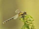 Dutch dragonflies