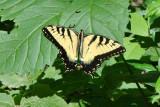 butterflies_of_midwest