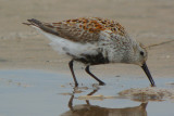 Dunlin  (Calidris alpina ) breeding