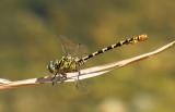 Kleine tanglibel - Onychogomphus forcipatus