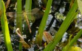 Groene glazenmaker - Aeshna viridis