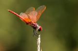 Purperlibel -Trithemis annulata