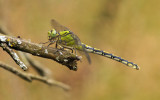 Gaffellibel - Ophiogomphus cecilia