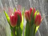 Tulips in wavy window