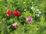 Hatherley Park poppies and cosmos