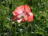 Hatherley Park poppy