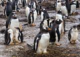 Gentoo Penguins egg laying