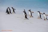 Gentoo Penguins Volunteer Beach