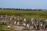 Gentoo Penguins & Small Chick